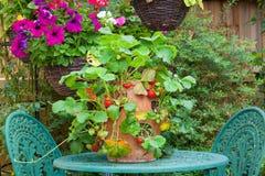 Terrakottaplanter med mogna jordgubbar Royaltyfri Bild