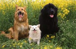 Terranova Pomeranian德国牧羊犬狗 免版税库存照片