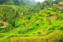Terraço do arroz, Bali Fotografia de Stock Royalty Free
