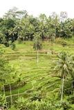 Terraços do arroz de Bali Fotos de Stock Royalty Free