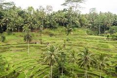 Terraços do arroz de Bali Fotografia de Stock