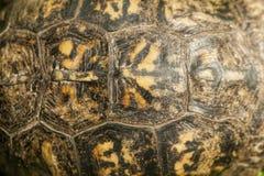 Terrapene Carolina de la cáscara de la tortuga de caja de Alabama Fotografía de archivo
