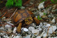 Terrapene carolina eastern box turtle Stock Image