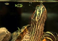 terrapin żółwia underwater Obrazy Royalty Free