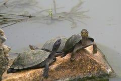 Terrapin żółwie Obraz Stock
