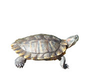 The terrapin Royalty Free Stock Images
