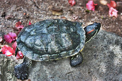 Terrapin. Basking in the sun on a rock royalty free stock photos