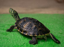 terrapin Photo stock