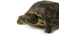 Terrapin. Isolated on a white background Stock Image