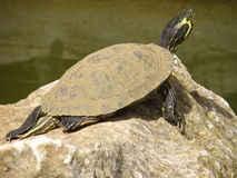 Terrapin Basking In The Sun Stock Photography