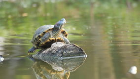 Terrapin basking in the sun on timber with water monitor swimming stock video