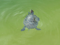 Terrapin in clear water Stock Image