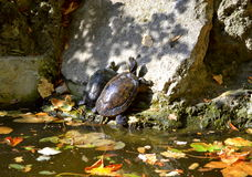 Terrapin couple Royalty Free Stock Photography