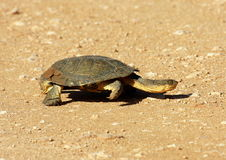 A terrapin crosses the road Royalty Free Stock Photo