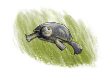 Terrapin diving Stock Photos