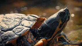 Terrapin Floating On Driftwood stock video