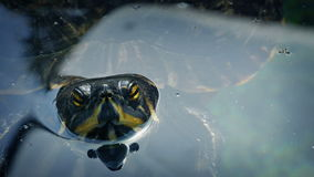 Terrapin Floating In The Water stock video footage