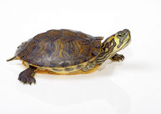 Terrapin florida Stock Images