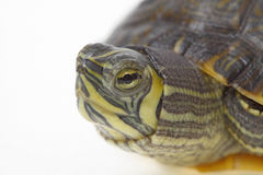 Terrapin florida Royalty Free Stock Photography