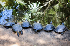 Terrapin line-up. Six terrapins lined up at the water's edge Stock Photos