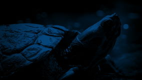 Terrapin At Night. Closeup of terrapin floating in jungle river late at night stock video footage