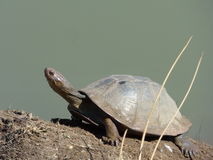 Terrapin (Pelusios sinuatus). This terrapin  was  photographed   sunbathing  on  the  water  edge  at  the  Pilanesberg  National  Park Stock Photo