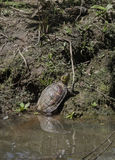 Terrapin in pond Stock Photography