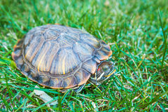 Terrapin Stock Photography