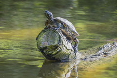Terrapin Sitting on a Log Royalty Free Stock Photography