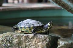 Terrapin sur une roche Photo libre de droits