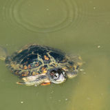 Terrapin Surfacing Royalty Free Stock Images