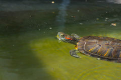 Terrapin swimming in water Stock Images