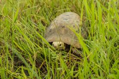 The turtle is a slow-moving animal. Tao lost his way and captured and photographed and released to nature stock photos