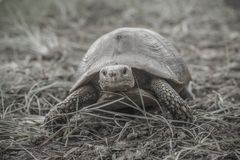 One turtle went astray. Tao from the mountains wandering royalty free stock photo