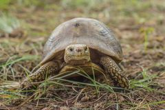 The turtle is a slow-moving animal. Tao from the mountains wandering royalty free stock photos