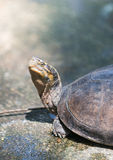 Terrapin in Thailand Stock Images