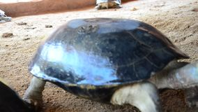 Terrapin or turtle stock footage