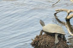 Terrapin turtle Royalty Free Stock Image