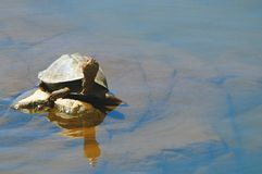 Terrapin turtle Royalty Free Stock Photos
