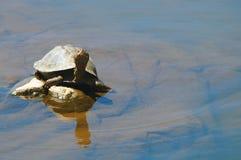 Terrapin turtle Stock Image