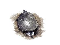 Terrapin turtle laying eggs Royalty Free Stock Photography