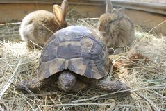 Terrapin and two rabbits Royalty Free Stock Photo