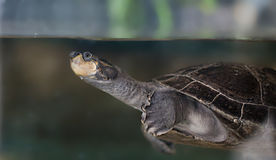 Terrapin Royalty Free Stock Photo