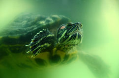 Terrapin underwater. A red eared terrapin underwater Stock Images