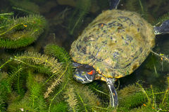 Terrapin Royalty Free Stock Images