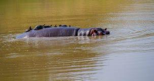 Terrapins au dos d'un hippopotame photos stock
