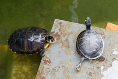 Terrapins in the Moat Around the Bandstand in Tavira. Portugal Royalty Free Stock Images