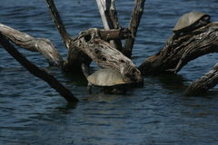 Terrapins in the sun. The terrapins was at a bird hide in the Pilansberg Nat Park Stock Image