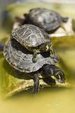 Terrapins Stock Photo