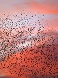 Terraplén de Starlings el cielo nocturno Imagenes de archivo